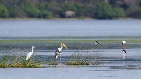Painted Stork and egret in Arugam bay lagoon, Sri Lanka Royalty Free Stock Images