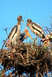 Painted stork family Royalty Free Stock Image