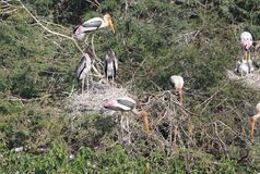 Painted stork family Stock Photos