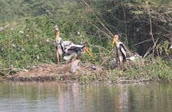 Painted stork family Royalty Free Stock Images