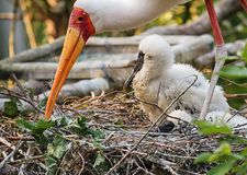 Painted stork family at nest Stock Photos