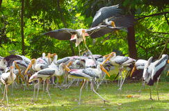 Painted stork feeding fish Stock Images
