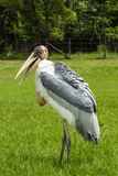 Painted stork in field Stock Image