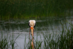 Painted stork with Fish Stock Images