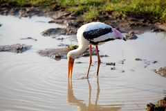 A painted stork is fishing in a pond in the Yala Nationalpark Royalty Free Stock Photography