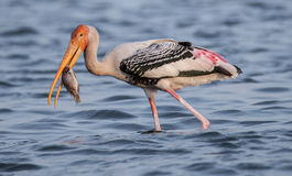 Painted Stork. Fishing in water royalty free stock image