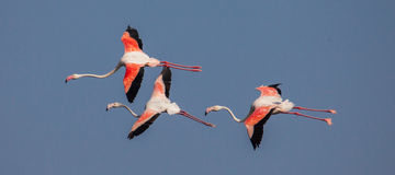 Painted Stork in flight Stock Photo