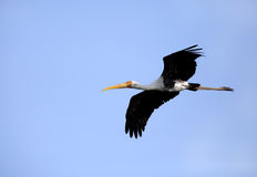 Painted stork in flight Royalty Free Stock Photography