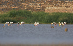 Painted stork flocks Stock Photo
