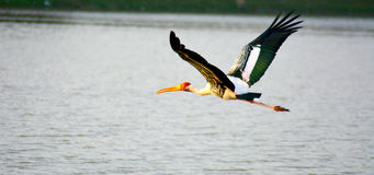 Painted stork fly over pond. India Royalty Free Stock Image