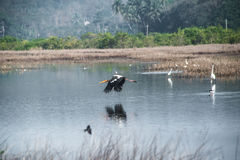 Painted Stork Flying Royalty Free Stock Photos