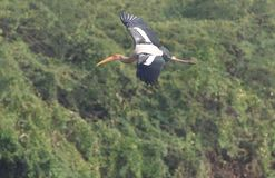 Painted stork flying Stock Photography