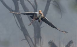 Painted Stork Flying With A Fish In His Mouth At Bharatpur Royalty Free Stock Image