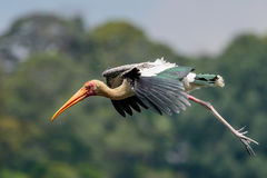 Painted Stork Gliding Stock Photography