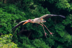 Painted Stork Gliding Royalty Free Stock Photo