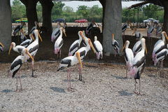 Painted Stork Group at Safari World Royalty Free Stock Photos