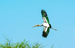 Painted stork hovering Royalty Free Stock Photos