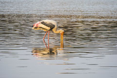 Painted stork hunting in water and reflection in pond. Painted stork hunting in water and reflection Stock Photos