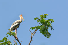 Painted Stork (Ibis leucocephalus). Perches on tree branch Stock Photos