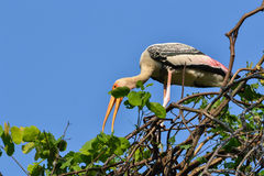 Painted Stork (Ibis leucocephalus). Perches on tree branch Royalty Free Stock Photos
