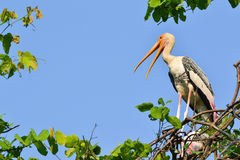 Painted Stork (Ibis leucocephalus). With leaf frame Stock Photography
