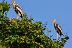 Painted Stork (Ibis leucocephalus). Two Painted storks (Ibis leucocephalus) perch on treetop Royalty Free Stock Image
