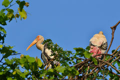 Painted Stork (Ibis leucocephalus). Two Painted storks (Ibis leucocephalus) on tree Stock Images