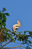 Painted Stork (Ibis leucocephalus). Perches on tree branch Royalty Free Stock Images