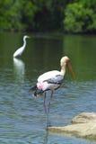 Painted Stork (Ibis leucocephalus) Royalty Free Stock Images