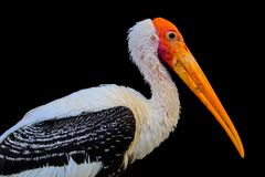 Painted Stork isolated royalty free illustration