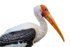 Painted Stork isolated stock photography