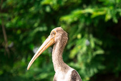 Painted Stork-Juvenile stock image