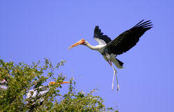 Painted Stork Landing Royalty Free Stock Images