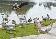 Painted stork landing Royalty Free Stock Photography