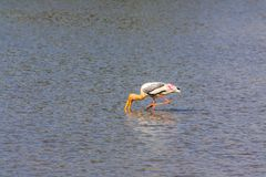 Painted Stork. The painted stork is a large wader in the stork family. It is found in the wetlands of the plains of tropical Asia south of the Himalayas in the Royalty Free Stock Photos