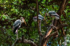 The painted stork is a large wader in the stork family. It is fo. Und in the wetlands of the plains of tropical Asia south of the Himalayas in the Indian Stock Photo