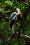 The painted stork is a large wader in the stork family. It is fo. Und in the wetlands of the plains of tropical Asia south of the Himalayas in the Indian Royalty Free Stock Photography
