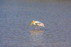 Painted Stork. The painted stork is a large wader in the stork family. It is found in the wetlands of the plains of tropical Asia south of the Himalayas in the Stock Photography