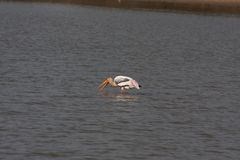 Painted Stork. The painted stork is a large wader in the stork family. It is found in the wetlands of the plains of tropical Asia south of the Himalayas in the Royalty Free Stock Photography