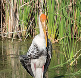 Painted stork Royalty Free Stock Photos