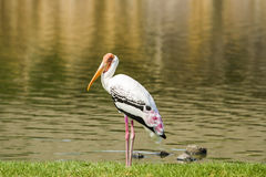 Painted Stork. Looking for food on the lake Royalty Free Stock Photo