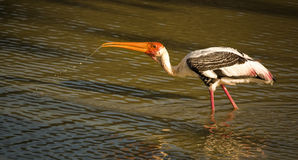 Painted stork in mid stream Stock Photo