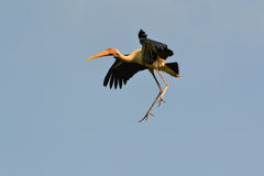Painted Stork in midair (Ibis leucocephalus). Painted Stork (Ibis leucocephalus) with blue sky Royalty Free Stock Photo