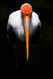 Painted Stork. The Painted Stork,Stork Mycteria leucocepha, is a large wading bird in the stork family Ciconiidae Stock Photography