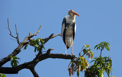 The Painted Stork (Mycteria leucocephala). Is a large wading bird in the stork family. It is found in the wetlands of the plains of tropical Asia south of the royalty free stock photo