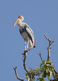 The Painted Stork (Mycteria leucocephala). Is a large wading bird in the stork family. It is found in the wetlands of the plains of tropical Asia south of the royalty free stock photos