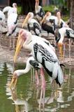 Painted stork (Mycteria leucocephala) Stock Image