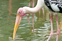 Painted stork (Mycteria leucocephala) Royalty Free Stock Photo