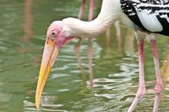 Painted stork (Mycteria leucocephala) Royalty Free Stock Photo