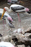 Painted stork ,Mycteria leucocephala Stock Photos